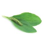 plantain-ernst-2015