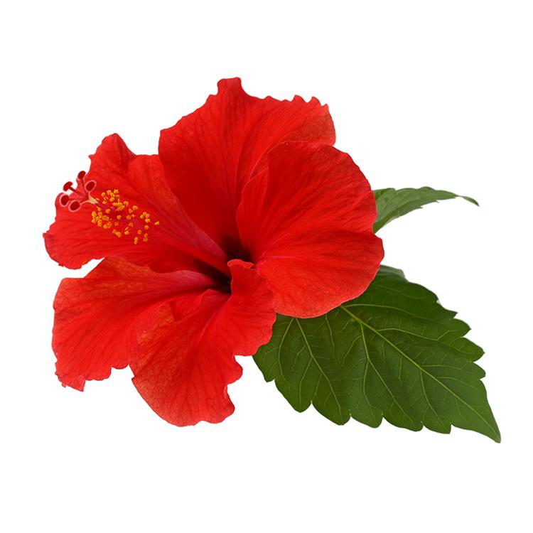 hibiscus-ernst-fond-blanc